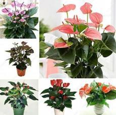 100PCS Anthurium Flower Seeds - Mixed Light Purple Black Red Pink Flowers
