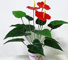 100PCS Red Anthurium Seeds