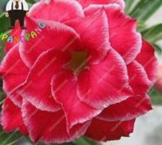 2PCS Desert Rose Adenium Seeds - 3-Layer Dark Red Flowers with White Edge
