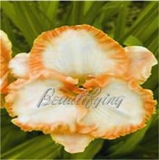 150PCS Daylily Flower Seeds - White Flowers with Light Orange Flowers