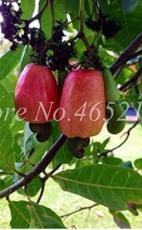 5PCS Exotic Cashew Tree Seeds Anacardium Occidentale