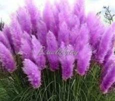200PCS Pampas Grass Seeds - Bright Purple Colors
