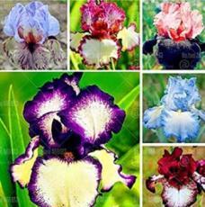 20PCS Iris tectorum Seeds - Mixed 6 Colors