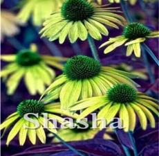 200PCS Echinacea Purpurea Seeds - Apple Green Big Flowers