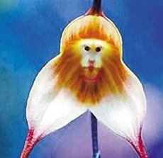 200PCS Monkey Face Orchids Seeds - Whitish Light Brown Flowers