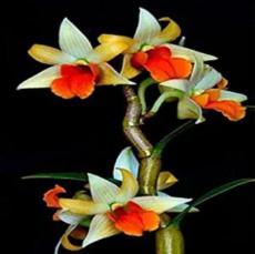 100PCS Mini Phalaenopsis Flower Seeds - Whitish Brown Color with Redish Orange Tongue