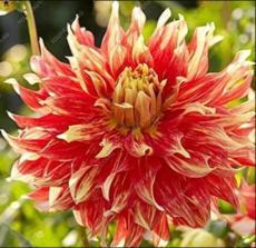 100PCS Dahlia Flower Seeds - Goldenish Red Double Flowers