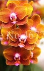 100PCS Cymbidium Floribundum Orchid Seeds - Redish Brown Flowers