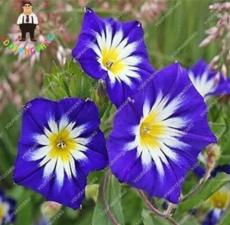 100PCS Petunia Flower Seeds - 5 Colors Available