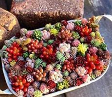 500PCS Succulent Planter Seeds Mix Lithops
