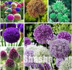100PCS Giant Allium Giganteum Seeds - Mixed 6 Colors
