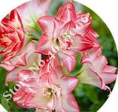 100PCS Amaryllis Seed Not Bulbs - Water Pink Color