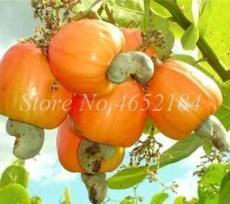 5PCS Cashew Tree Seeds - Light Orange Fruits