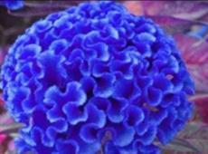 200PCS Celosia Cristata Seeds - Blue Color