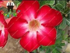 2PCS Desert Rose Adenium Seeds - Rose Red Single Petal Flowers