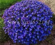 200PCS Creeping Thyme Seeds Rock CRESS Plant - Purple Flowers F1