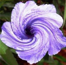 100PCS Petunia Flower Seeds - Purple White Bicolor Spiral Flowers