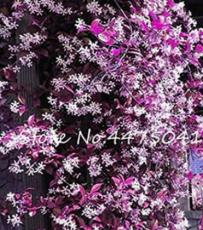20PCS Climbing Jasmine Flower Seeds - Purple White Flowers