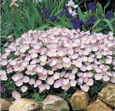 100PCS Evening Primrose Seeds - 4 Colors Available