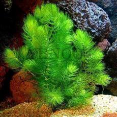500PCS Ceratophyllum Seeds Aquarium Grass Ornamental