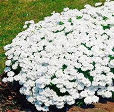 100PCS Creeping Thyme Seeds - White Red Available