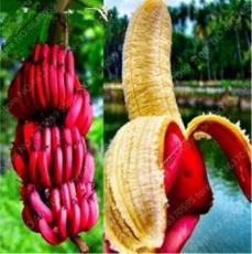 100PCS Dwarf Banana Seeds - Dark Red Skin