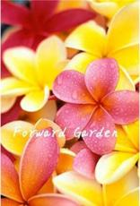 100PCS Plumeria Seeds - Goldenish Yellow and Red Flowers