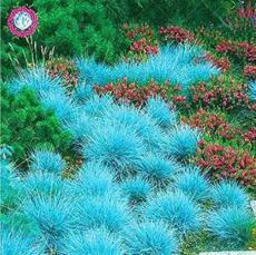 500PCS  Blue Grass Seeds Perennial