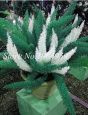 100PCS Garden Foxtail Fern Seeds - Dark Green White Colors