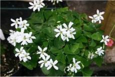 1 Bulb Oxalis Green Shamrock White Flowers