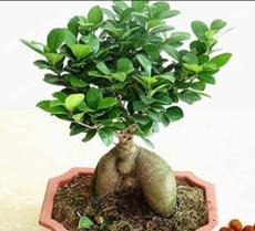 20PCS Banyan Tree Seed Ficus Ginseng
