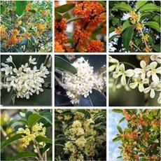 20PCS Fragrant Osmanthus Seeds Sweet Olive Tree - Mixed Colors