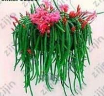 100PCS Hanging Sedum Seeds