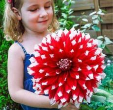 100PCS Giant Dinnerplate Dahlia Seeds - Fresh Red Flowers with White Edge
