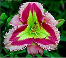 100PCS  Hybrid Daylily Flowers Seeds - Light Pink - Rose Red - Green Triple Double Flowers