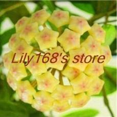 200PCS Hoya Seeds - Light Yellow with Light Pink Centre
