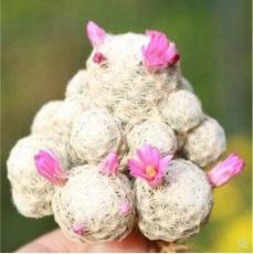 20PCS Ball Cactus Seeds - Pink Flowers