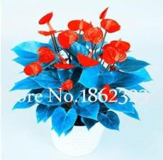 100PCS Anthurium Seeds - Dark Red Flowers