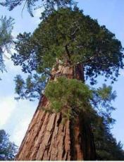 100PCS Sequoiadendron giganteum Seeds Giant Sequoia Giant Redwood