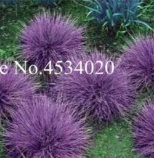 300PCS Purple Fescue Grass Seeds Festuca glauca Perennial Hardy Ornamental