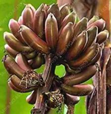 100PCS Dwarf Banana Seed - Greenish Red Skin