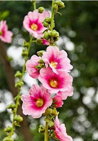 100PCS Rare Hollyhock Flower Seeds - Light Pink Flowers with Rose Pink Centre