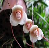 100PCS Rare Japanese Monkey face Orchid Seeds - Khaki Color