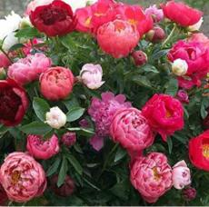 10PCS Rare Chinese Peony Seeds - 2 Colors Available