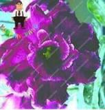 2PCS Desert Rose Adenium Seeds - Black Purple 4-Layer Flowers