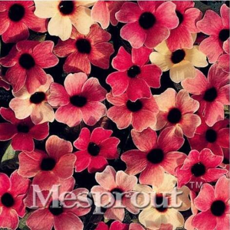 10PCS Susan Seeds - Rose Red Flowers with Black Eye