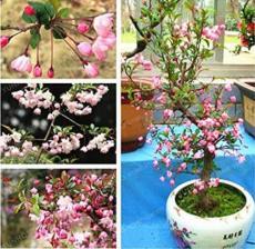 50PCS Malus Halliana Seeds - Pink Bonsai Flowers