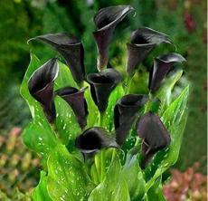 50PCS Calla Lily Seeds - Black Color