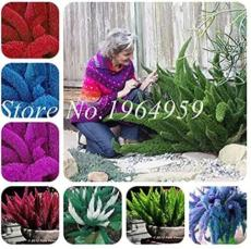 100PCS Garden Foxtail Fern Seeds - Mixed Red Green Purple Dark-red White etc. Colors