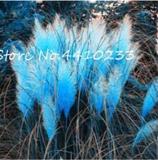 500PCS Pampas Grass Seeds - Sky Blue Color